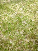 clover-sprout-closeup.jpg