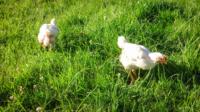 Chicks-on-grass-4-scaled.jpg