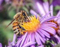 honey_bee_extracts_nectar.jpg