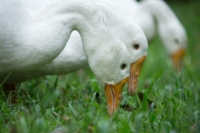 three-white-ducks-594111.jpg