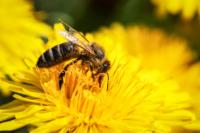 bigstock-Honey-Bee-78050721.jpg