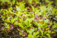 baby-lettuce.jpg