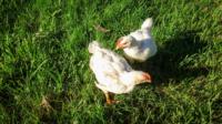 Chicks-on-grass3-scaled.jpg